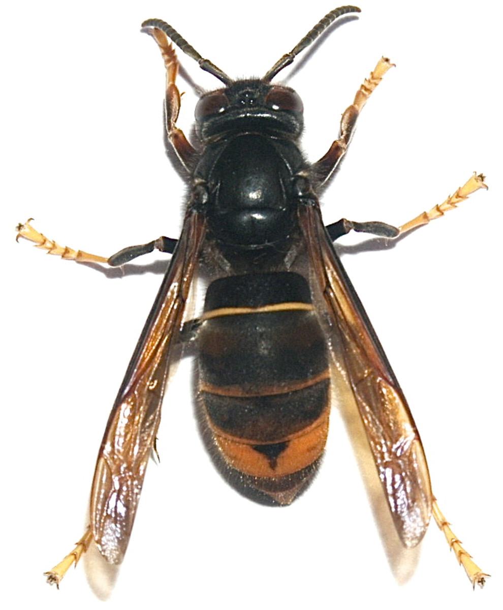 The Asian Hornet or Vespa velutina