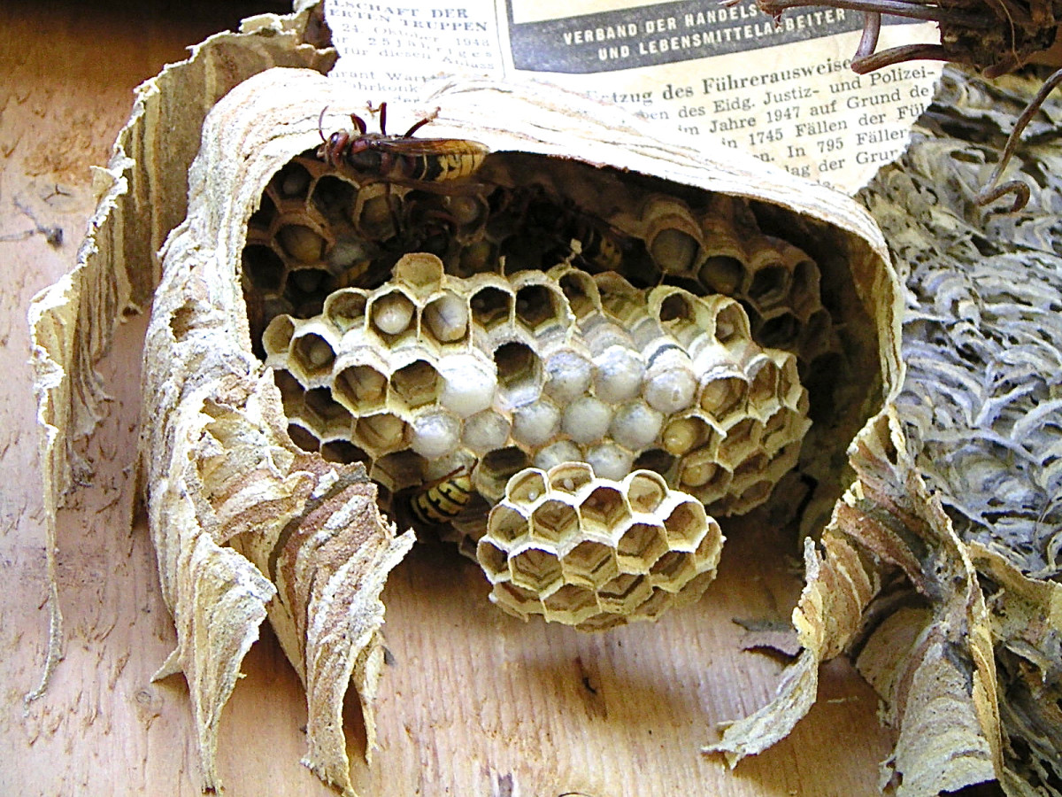 A hornet nest that has been broken open and partially rebuilt, showing the horizontal combs and the papery outer layers of the nest