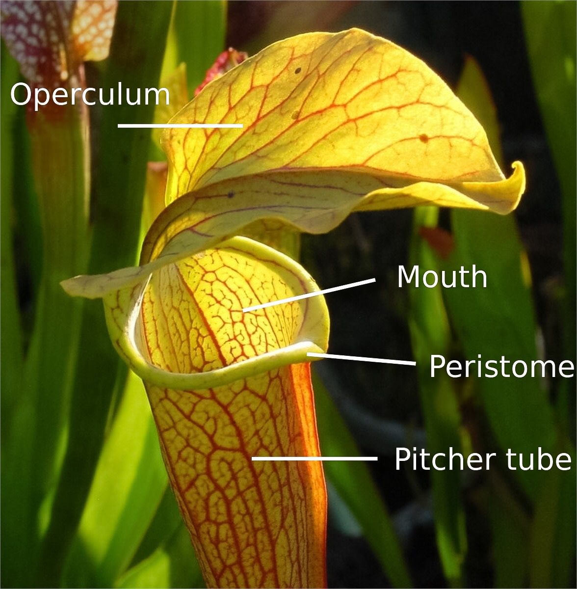 A species of Sarracenia, which is a type of pitcher plant