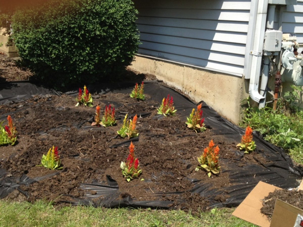 Planting flowers and adding top soil.