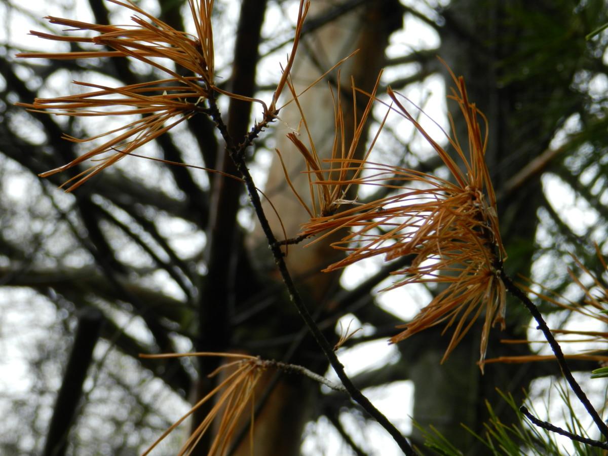 Dead pine needles after a harsh winter.