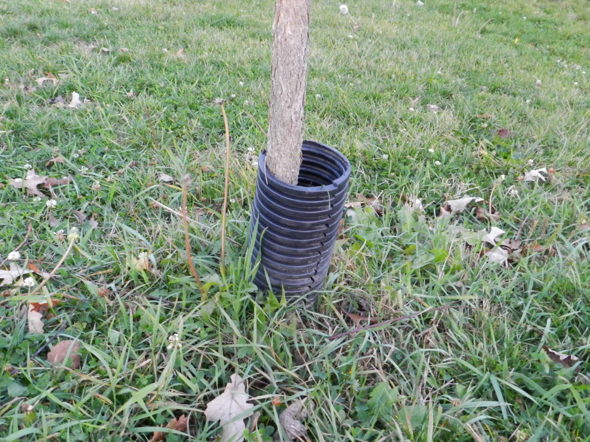 A segment of corrugated plastic drain pipe protecting the trunk of a young tree.
