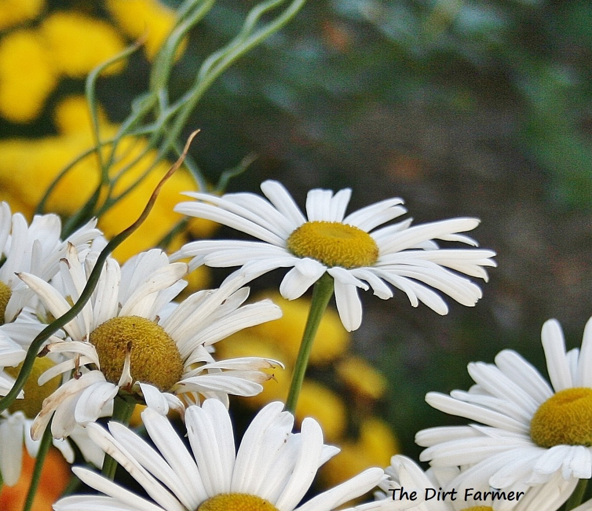 During the growing season, Montauks require litte care beyond deadheading to encourage new blooms.