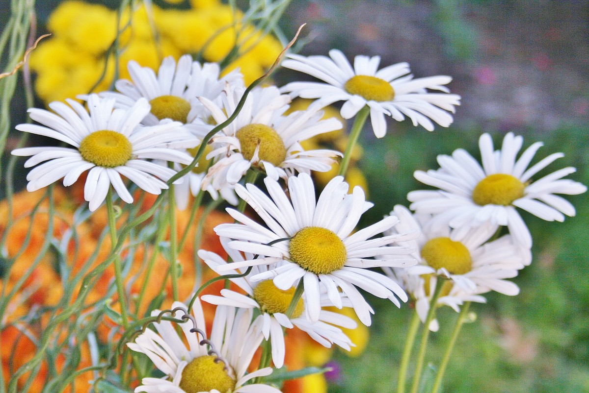 Montauk daisies make pretty thrillers and fillers for fall container gardens.