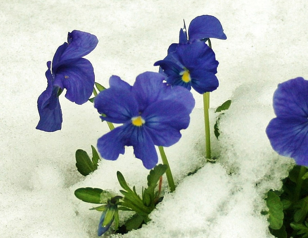 Hardy pansies will bloom, even when there's snow on the ground.
