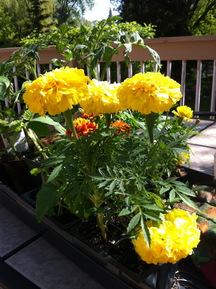 Marigolds are an invaluable addition to any vegetable garden.