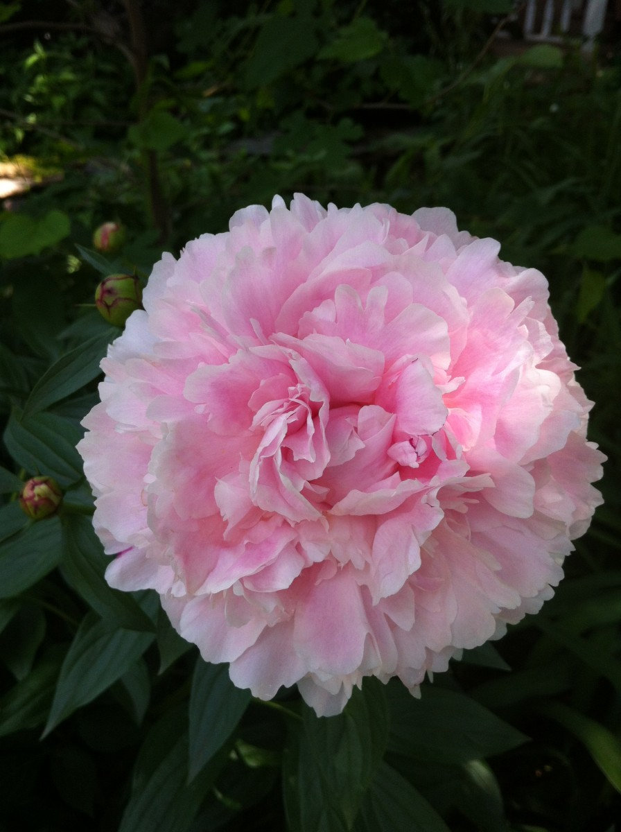 Pink peony in my front yard garden.