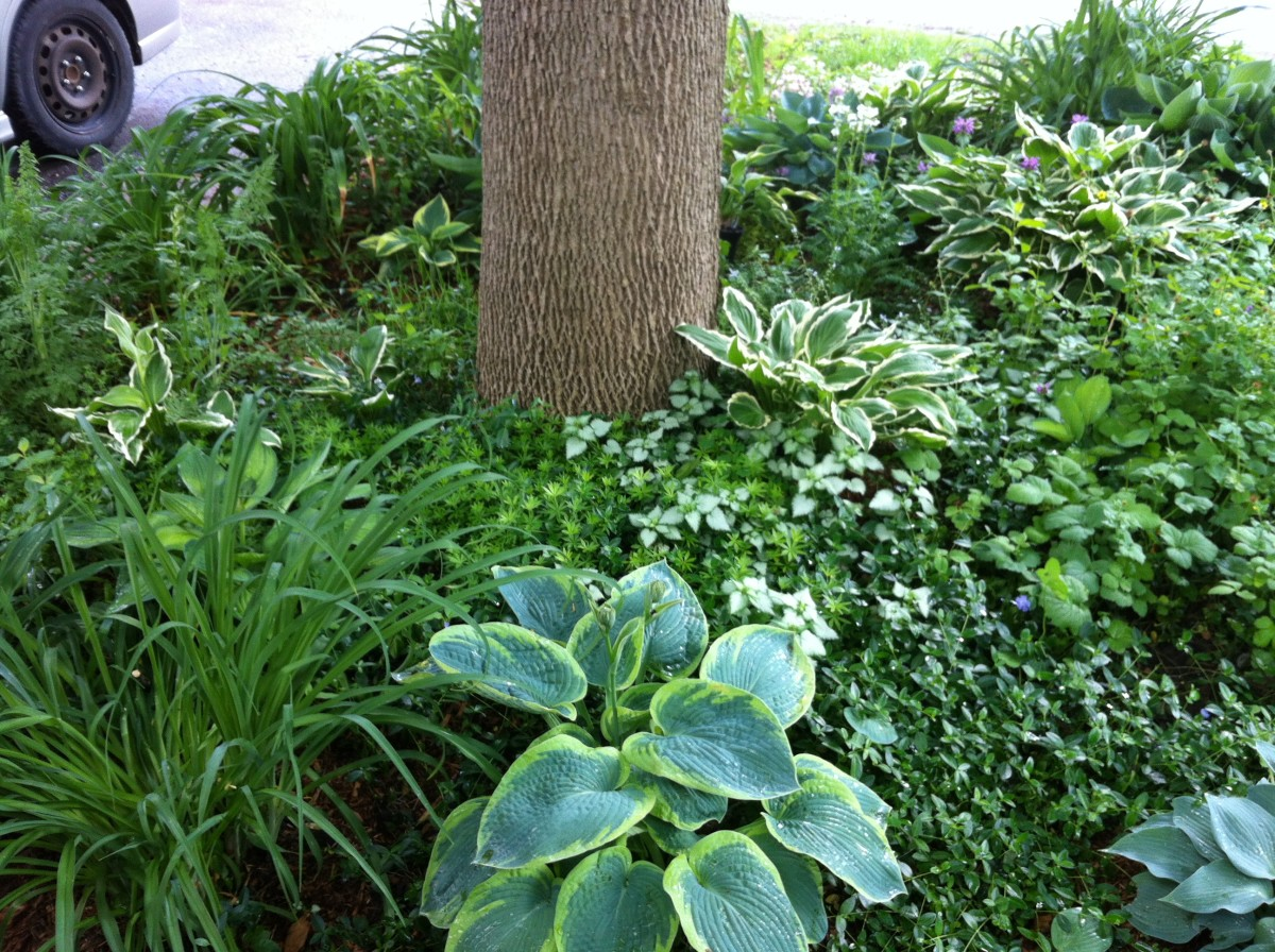 Hostas and assorted groundcovers thrive in a shady area of my garden and require virtually no maintenance.