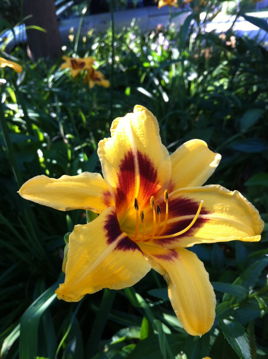 Daylilies in my front yard greet neighbours as they pass by.