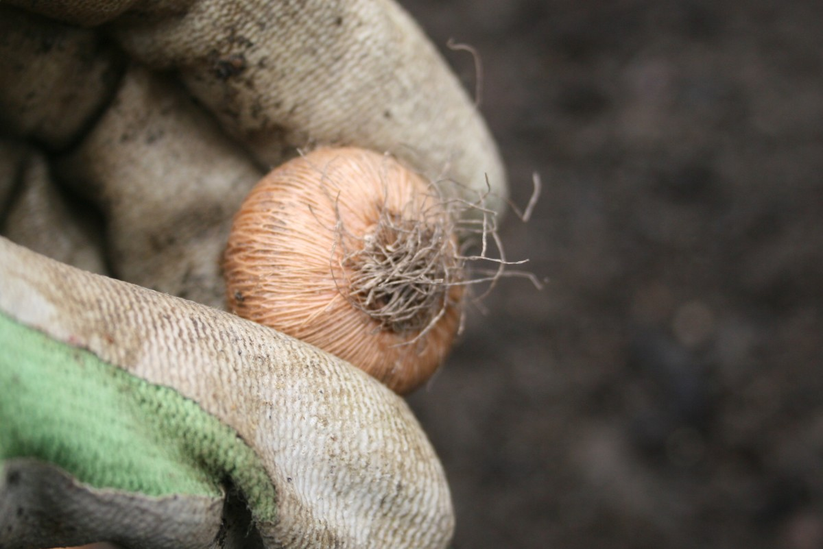 The bulb bottom may have roots or a little indentation.