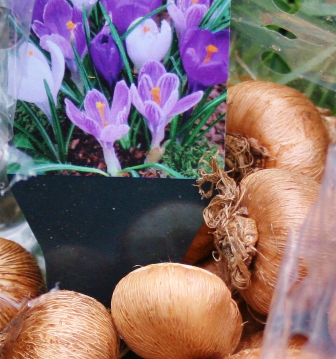 The crocus bulbs will be the  first  to bloom in our container garden, pushing their hardy shoots through the soil in late winter/early spring.