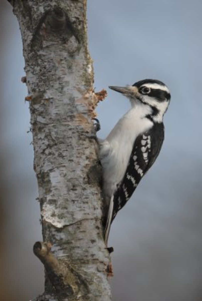 adult female hairy woodpecker