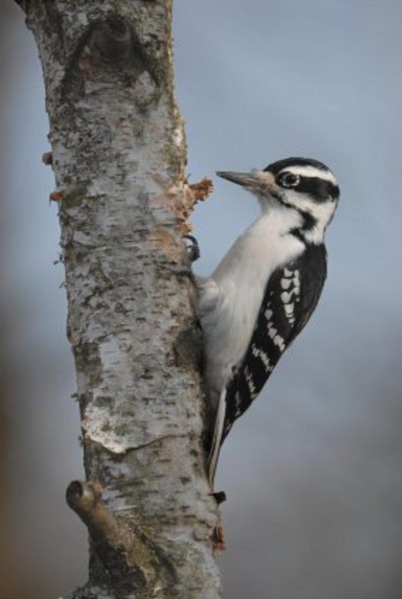 adult female hairy woodpecker
