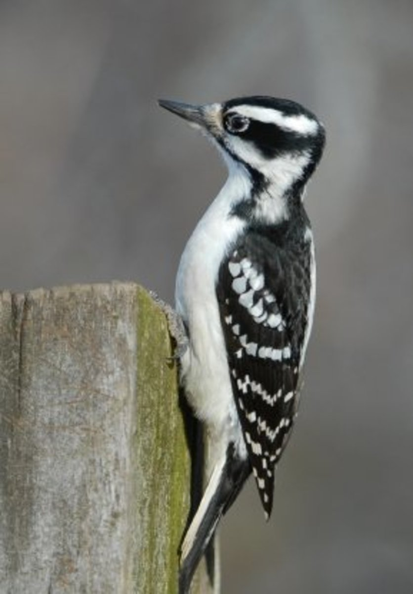 young female hairy woodpecker