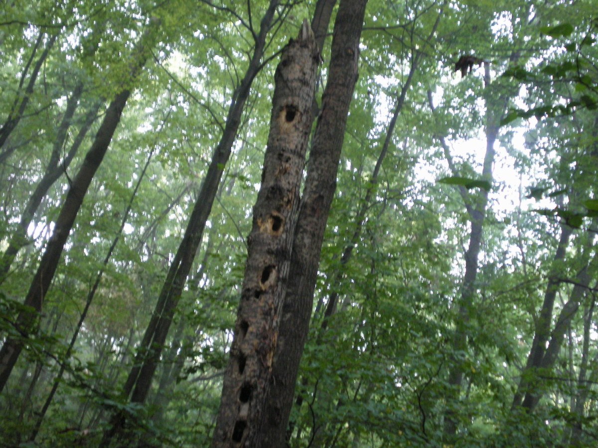 Poplars are popular with Woodpeckers because of the soft wood.