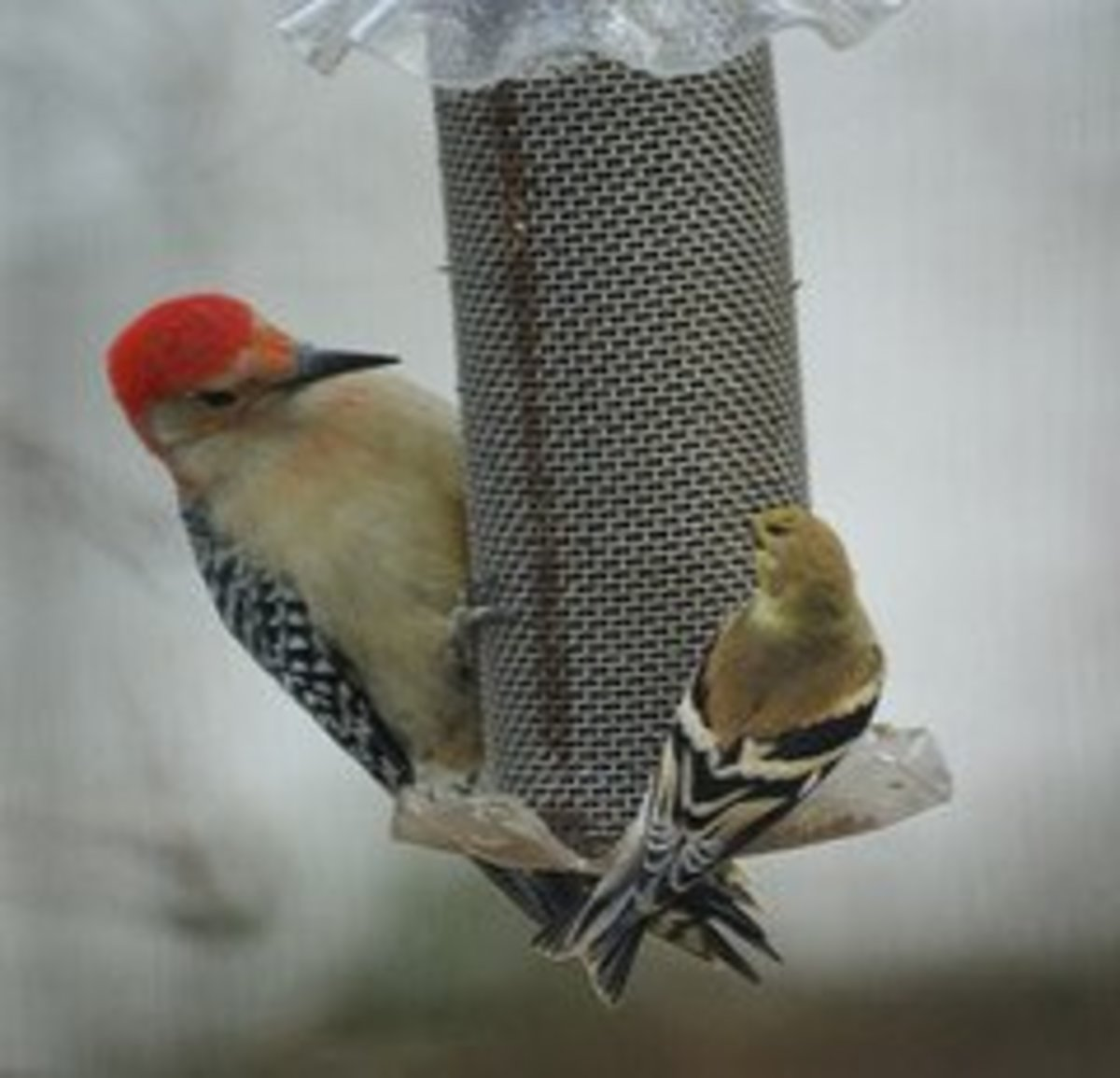 Quite a difference in size between this red-bellied woodpecker and the much smaller gold finch!