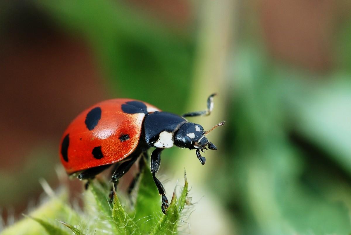 Coccinella magnifica (ladybugs)