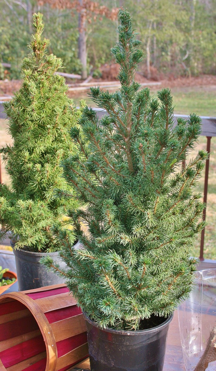 They look good now, but these mini Christmas tree are in too-small pots with poor drainage. They need to be planted or repotted--before spring.