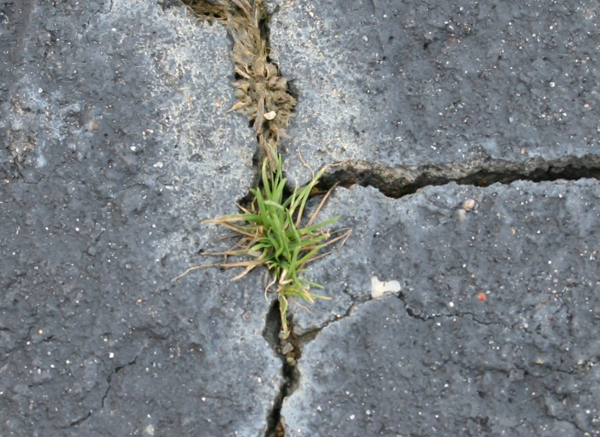 Boiling water may have to be applied multiple times in order to kills weeds in cracks.