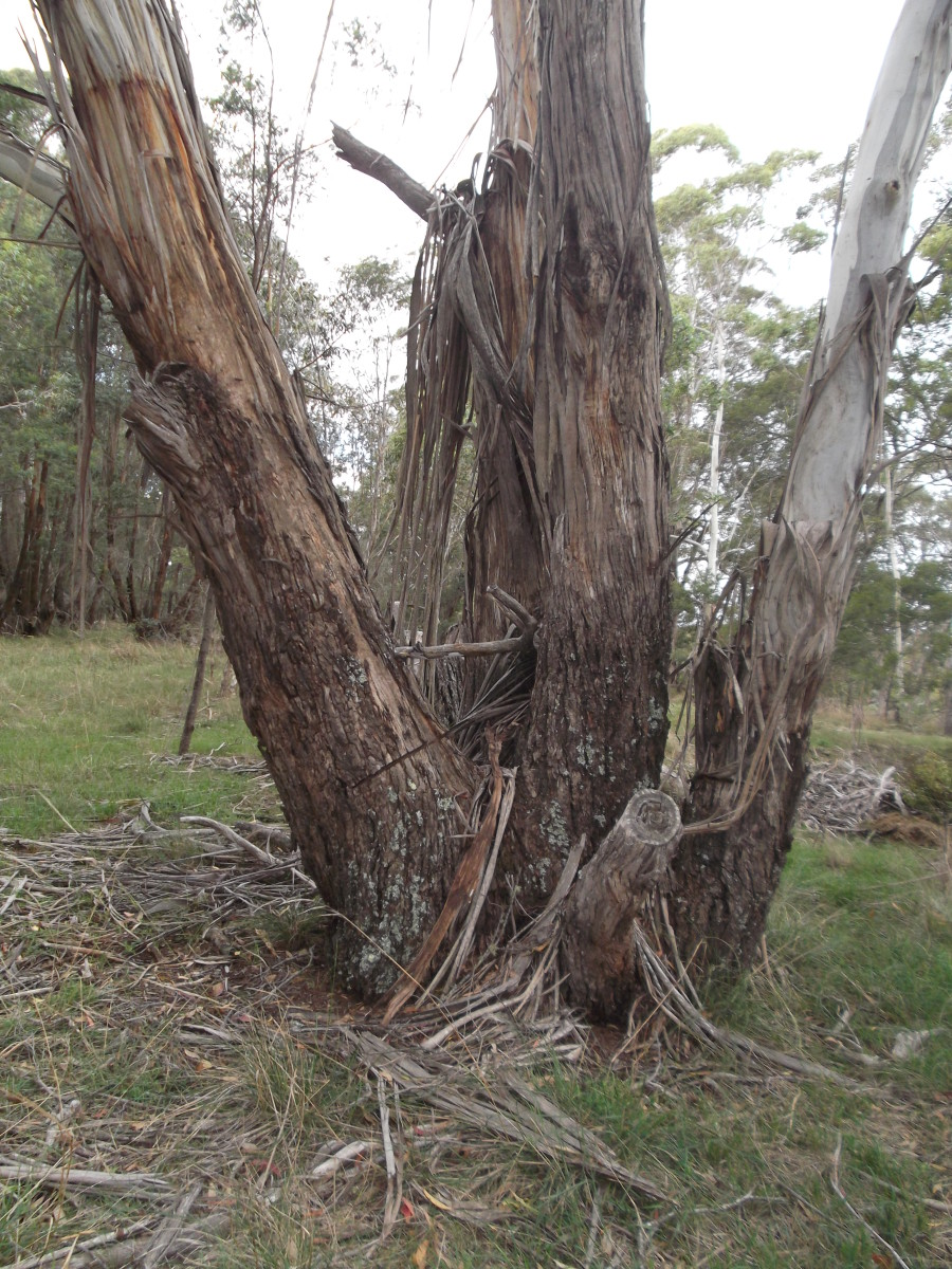The lower parts of many Australian trees are easily inflamed during grass fires.