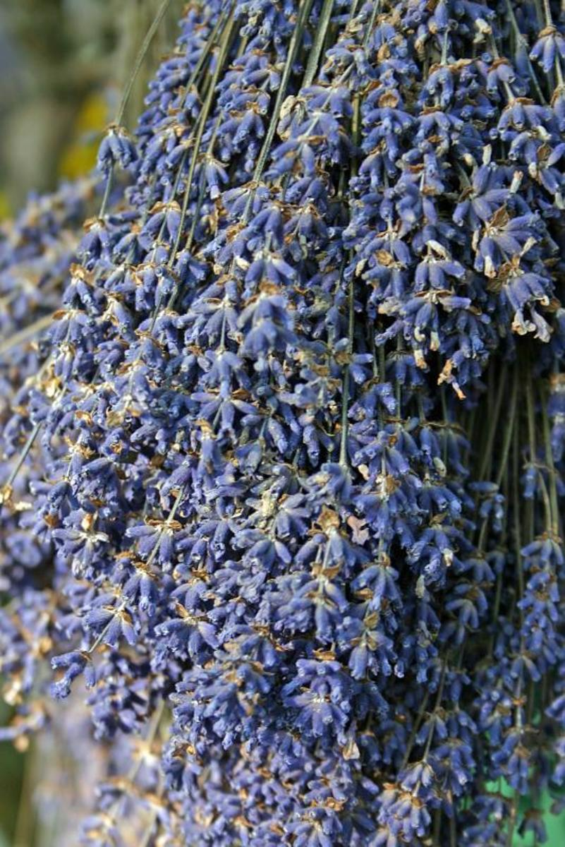 Always hang your lavender stems to dry with the flowers pointed down.