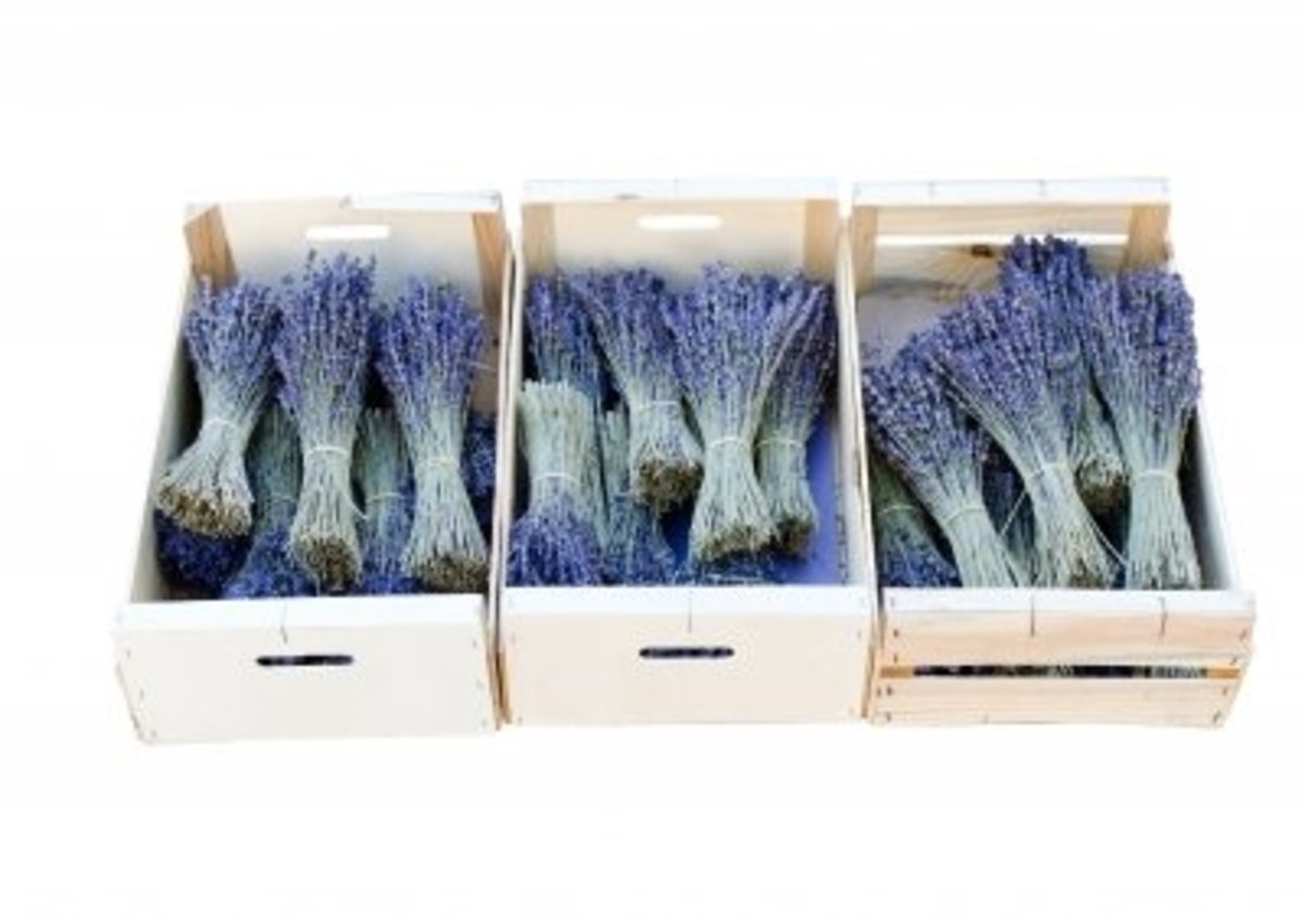 if you have a large amount of lavender to dry, you can store it in bunches until ready to use. Store in a box with a lid in a dark cool place like the garage or basement.