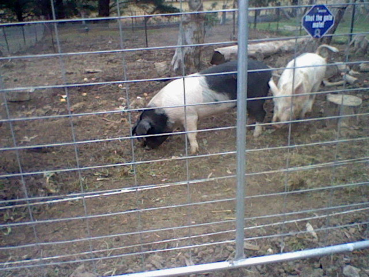 The names of these pigs are 'Bacon' and 'Eggs', but they are so friendly we could never eat them. They help prepare our off-grid gardens.