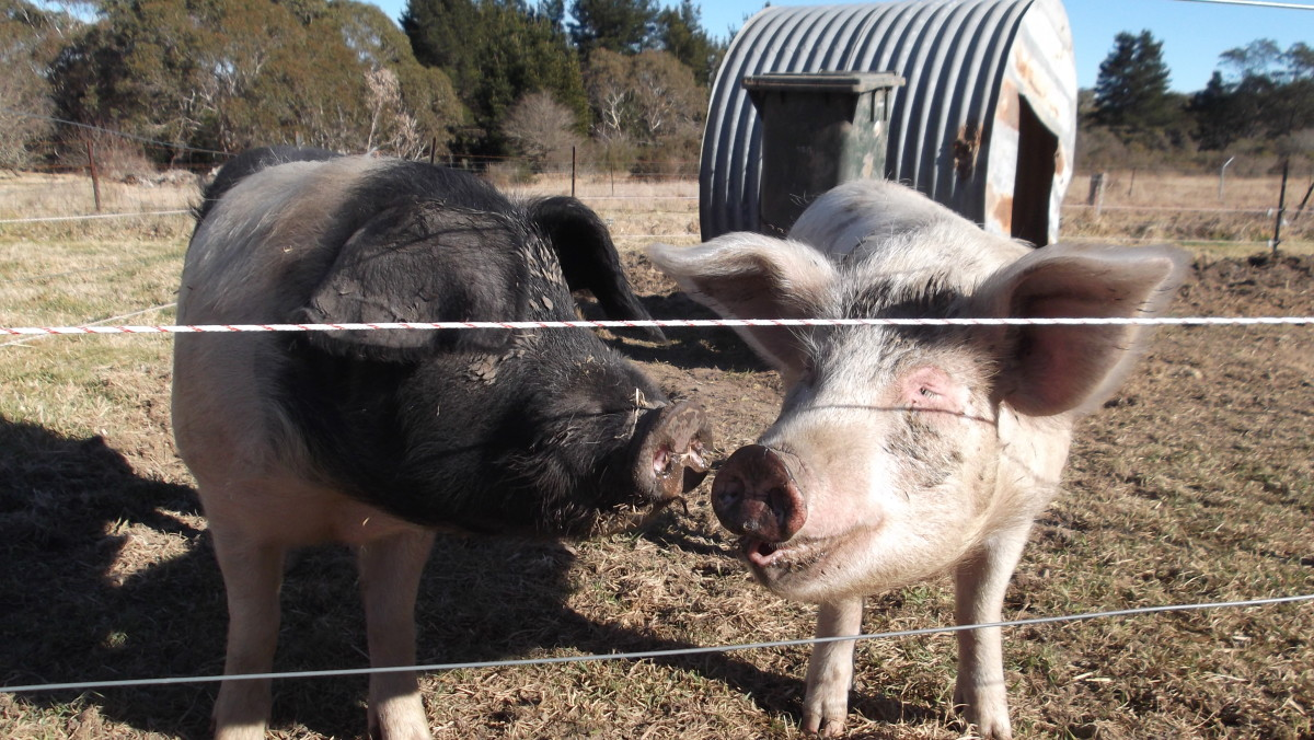 Bacon and Eggs, despite being big pigs, are easily contained in a future vegetable garden area by nothing more than two wires of solar electric fencing on our off-grid property.