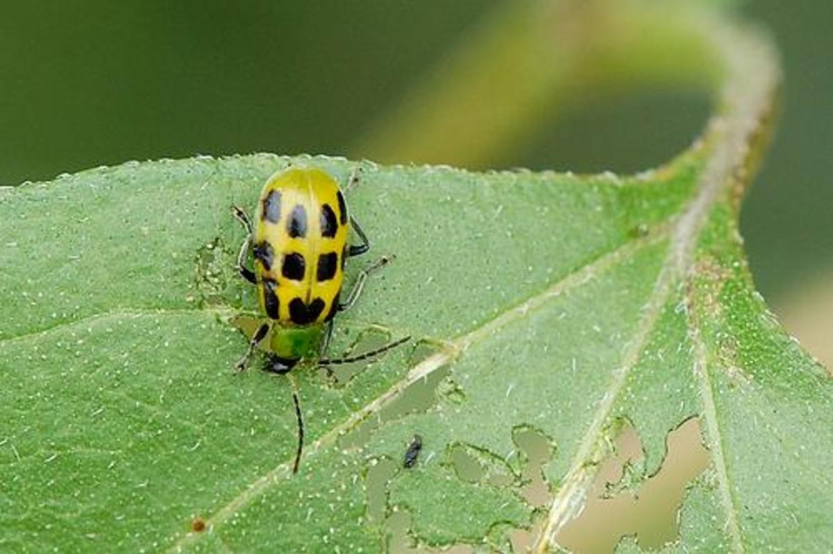 Companion plants may help to keep the dreaded cucumber beetle away.