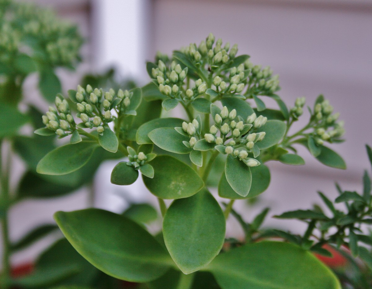 In late spring, Sedum 'Autumn Joy' produces large flower heads with tight, light-green buds.