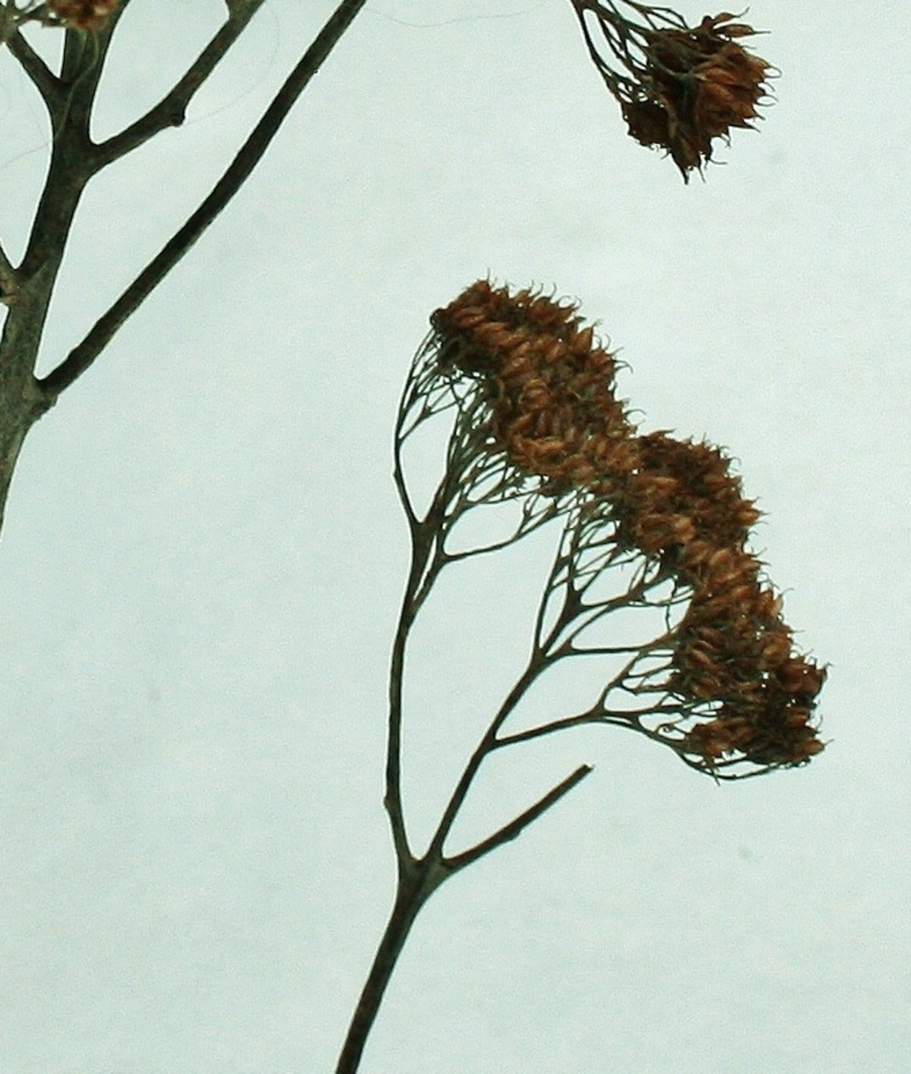 During the winter, this plant turns a rich shade of rust.