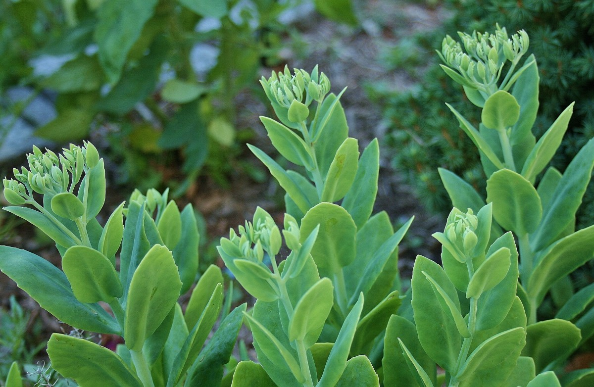 Live Forever sedum grows tall by mid-summer, producing immature flower heads that bloom in autumn.