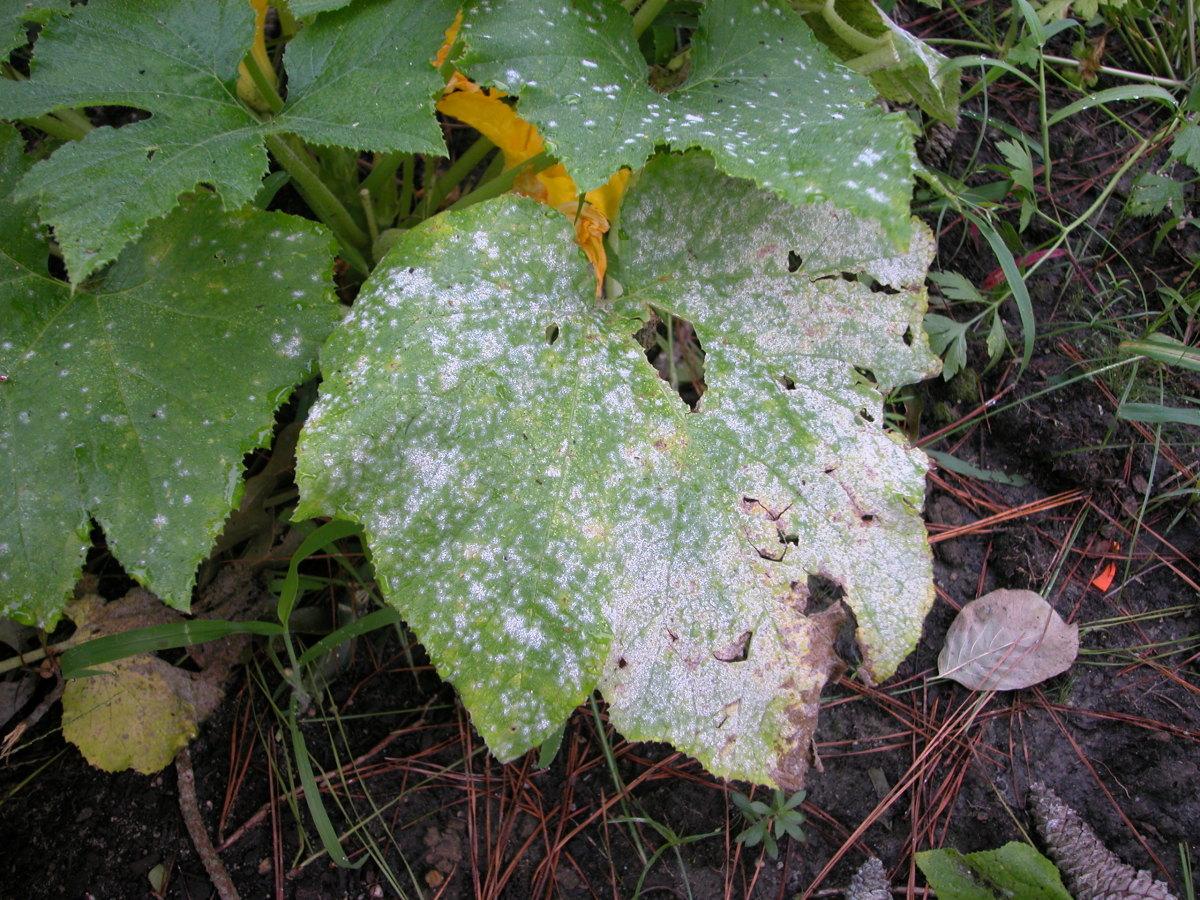Neem oil can control diseases like powdery mildew.