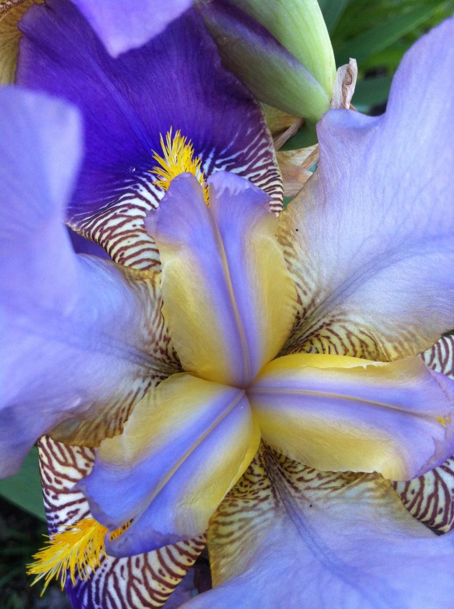 Closeup of an iris flower