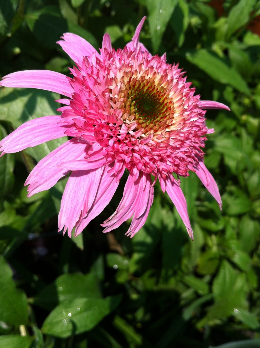 "Pink ""Double Delight"" coneflower"
