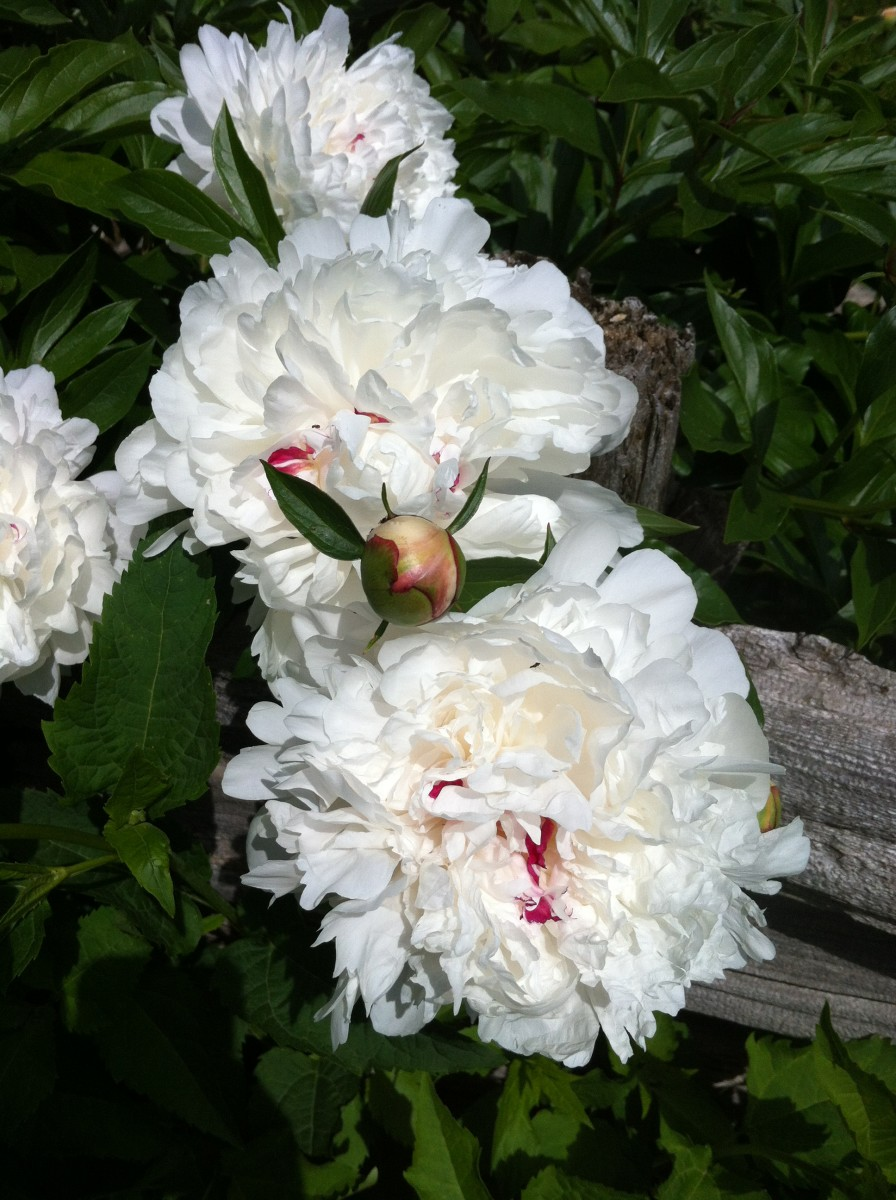 White peonies in the garden.