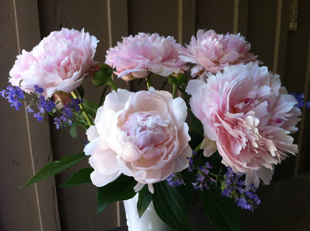 Peonies make beaufiful cut flower arrangements.