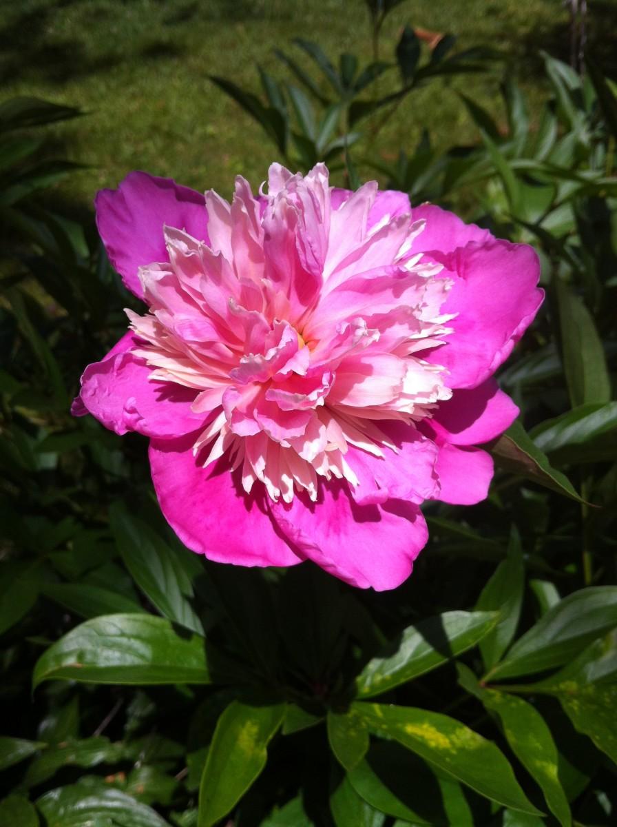 Two-tone pink peony.