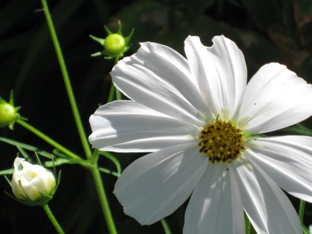 White cosmos flower.