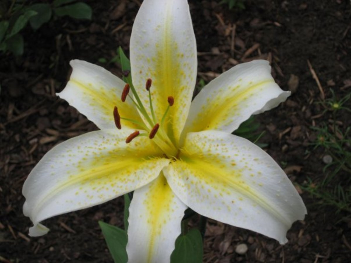 White and yellow lily