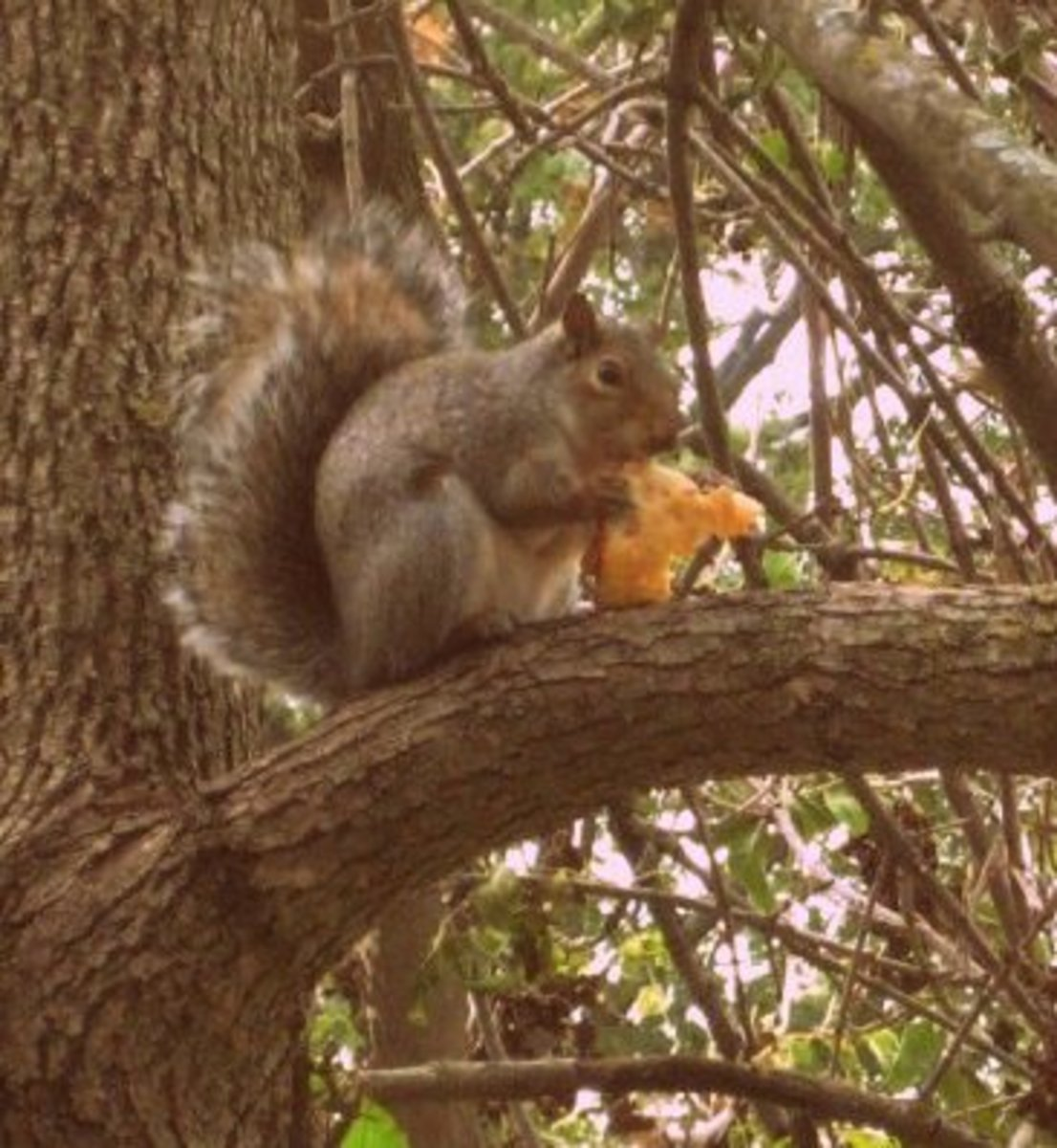 Squirrel in a tree after raiding the garden.