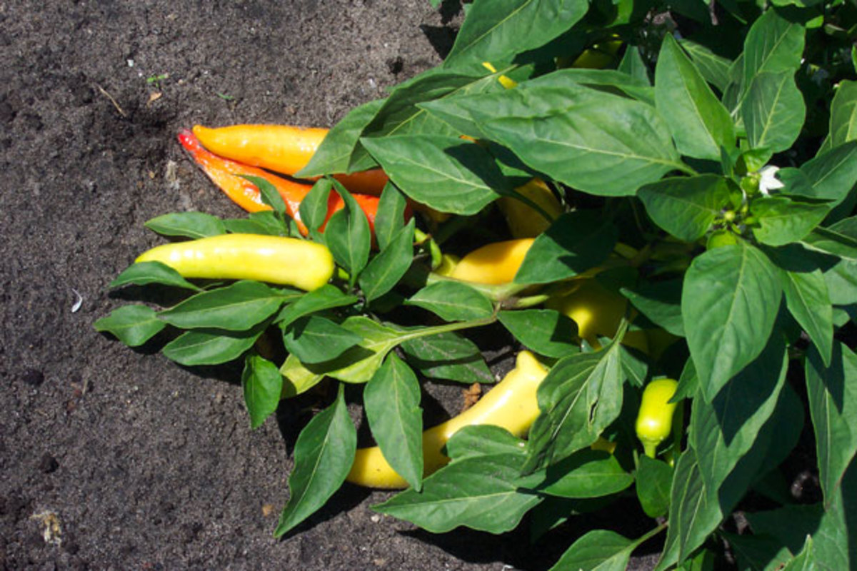 Banana peppers before harvest.