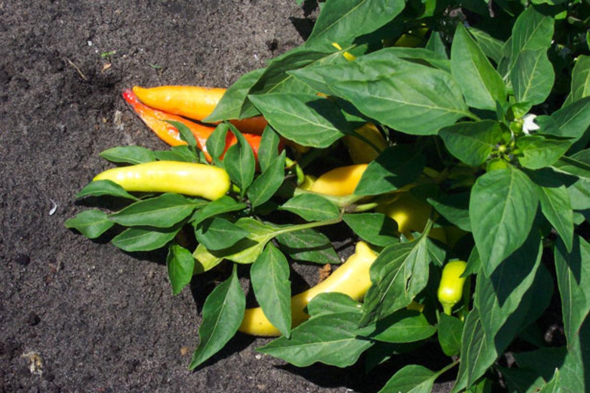Banana peppers before harvest.