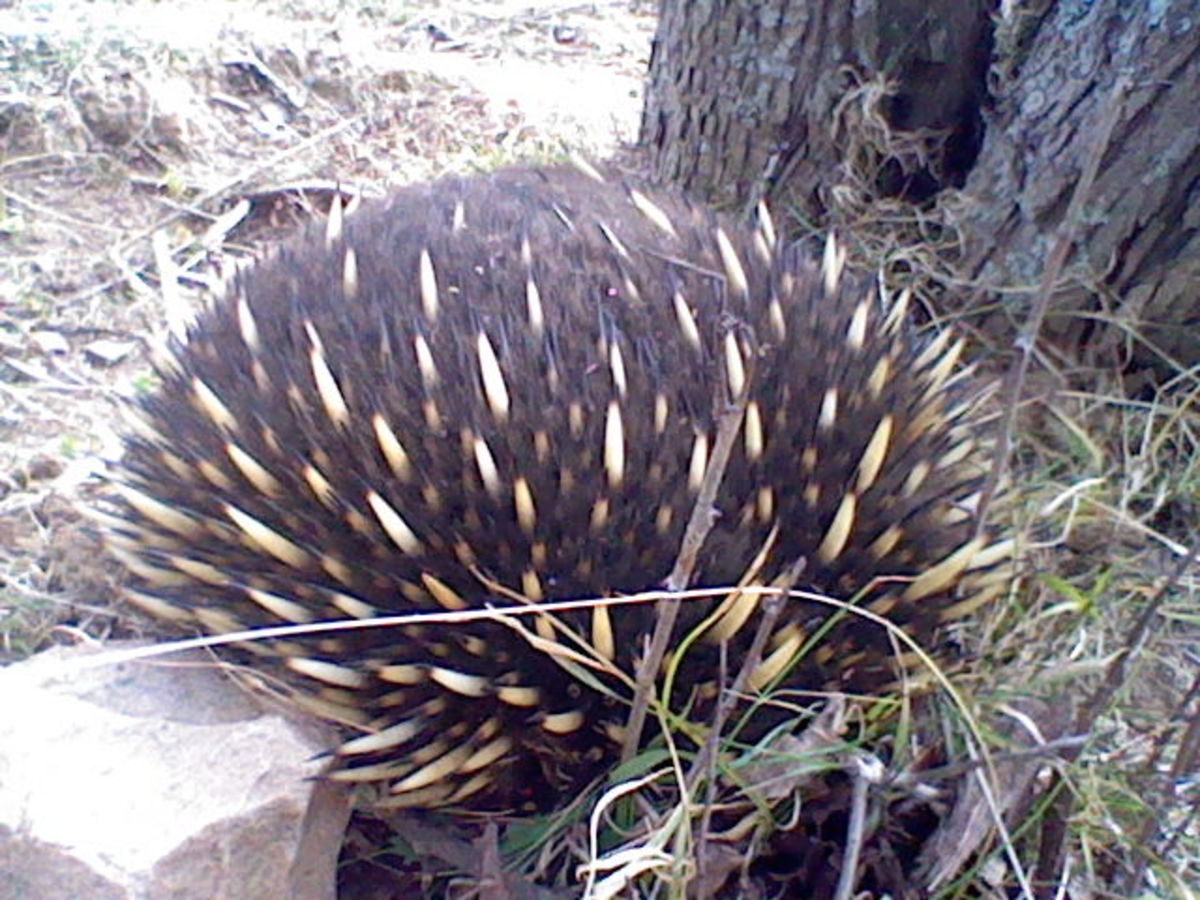 Every few months I spot an echidna in my garden. Next time, I'll pay more attention to where they linger, in case that's a clue about the presence of termites.