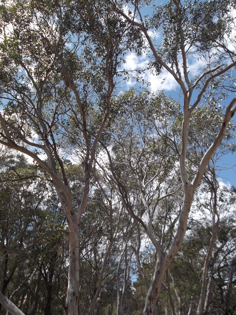 With so many towering gum trees near my home, there is a constant danger from termite damage. These tall trees could crush the roof of my house if they fell.