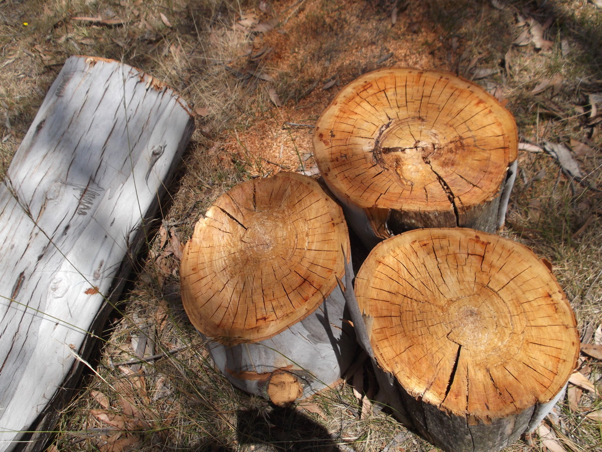 We sliced through the entire length of the remaining trunk and each slice was as clean as these ones.
