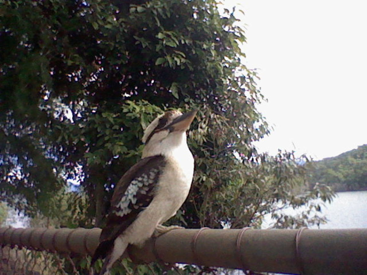 The kookaburra's extremely strong beak is a useful tool for accessing termites..