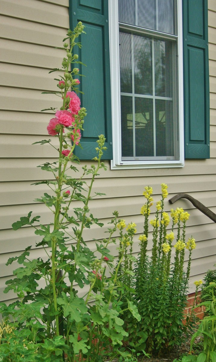 Because of its height, hollyhock is perfect for the back of a bed or border.