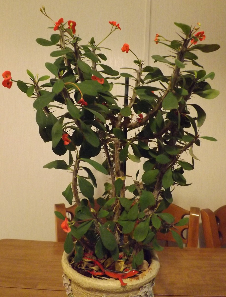 Crown of thorns an interesting houseplant dengarden for Crown of thorns plant