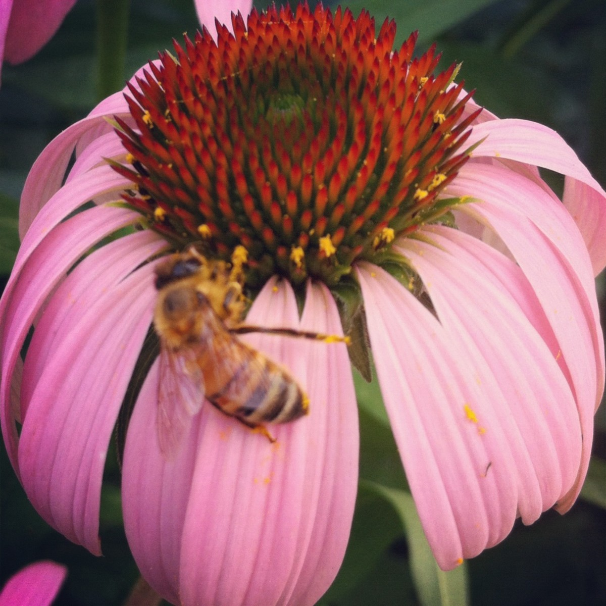 Help attract bees to your vegetable garden by planting flowers nearby.